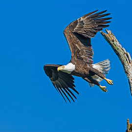 High Flying by Robert Steagall - Animals Birds ( pride, eagle, avain, bald eagle, symbolism, raptor, pretty, soar, animal )