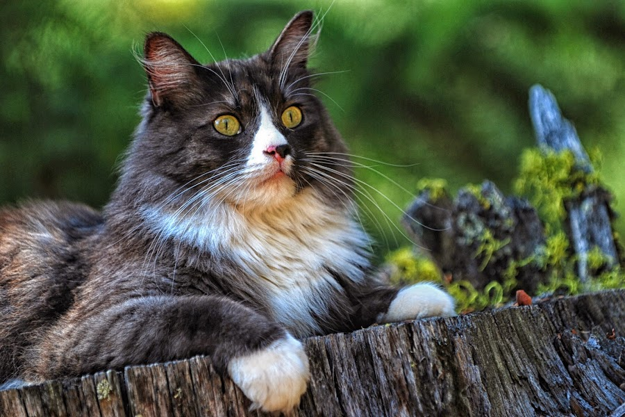 Reckless in the Woods by Twin Wranglers Baker - Animals - Cats Portraits (  )