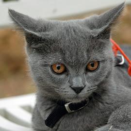 Athos. by Lorraine Bettex - Animals - Cats Kittens