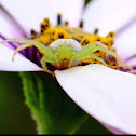 Green Flower Spider
