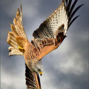 by Stephen Crawford - Animals Birds ( new galloway, birds of prey, nikon d4, feeding, telephoto, red kites, birds in flight,  )