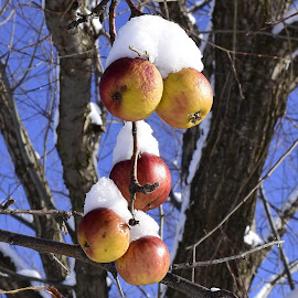 Frozen apples. by Denton Thaves - Nature Up Close Trees & Bushes ( snow, apples, frozen fruit. )