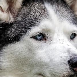 My Husky Portrait by Shutter Bay Photography - Animals - Dogs Portraits ( dog portrait, dog, close up, portrait, eyes )