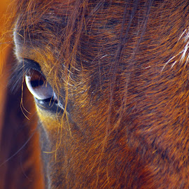 Watching you by Giselle Pierce - Animals Horses ( horse eye eyeball, horse eyeball, equine, horses, horse )