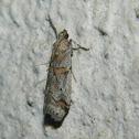 Khorassania pyralid moth