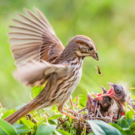 Sparrow Feeding Babies by Carl Albro - Animals Birds ( babies, nest, song sparrow, feeding, new world sparrows, birds, sparrow )