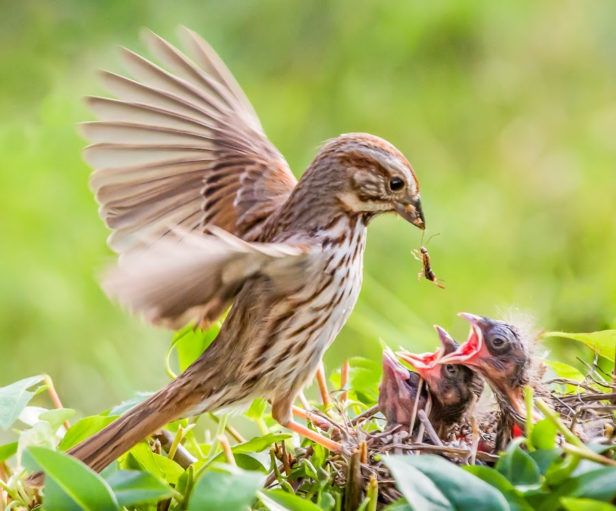 Sparrow Feeding Babies by Carl Albro - Animals Birds ( babies, nest, song sparrow, feeding, new world sparrows, birds, sparrow )