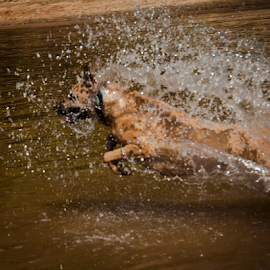 Roxy on the Run by Myra Brizendine Wilson - Animals - Dogs Running ( belgian malinois, roxy dog, dogs, brown dog, roxy, roxy swimming, roxy running in water, malinois, canine, lake norman, belgian shepherd, roxy in water, pet, pets, brown dogs, dog,  )