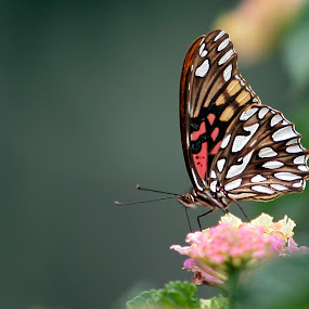 Butterflhy and flower by Cristobal Garciaferro Rubio - Animals Insects & Spiders ( butterfly, mariposa, flores, bokeh, flower )