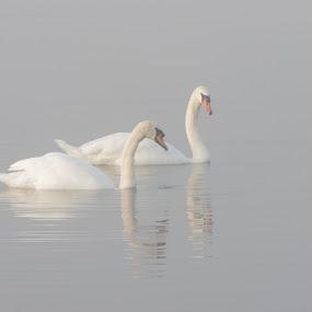 Misty Morning Swim by Graham Coulson - Animals Birds