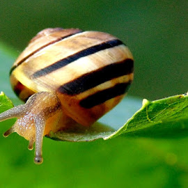 GASTROPODA by Wojtylak Maria - Animals Other ( shell, gastropoda, leaf, stripes, snail, animal )