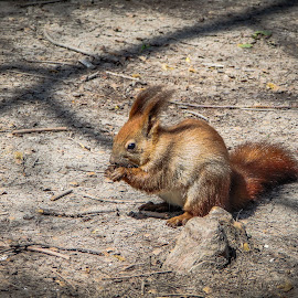 Squirrel by Bogdan Vasilca - Novices Only Wildlife ( sony, wild, romania, forest, hungry, squirrel )