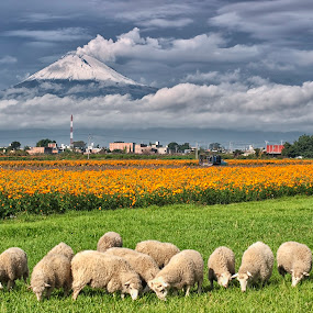 sheep and smoking volcano by Cristobal Garciaferro Rubio - Landscapes Prairies, Meadows & Fields ( volcano, field flower, flowers, snowy volcano, smoking volcano, flower )