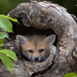 Red Fox Kit by Jack Nevitt - Animals - Dogs Puppies ( fox, red, baby, den, kit )