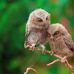 by Vincent Sinaga - Animals Birds