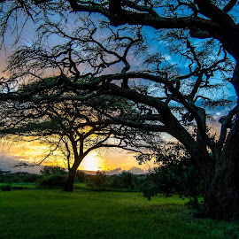 Acacia trees sundown by Philippe Collette - Landscapes Sunsets & Sunrises