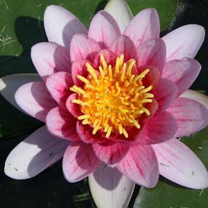 Single Pink Lilly.jpg