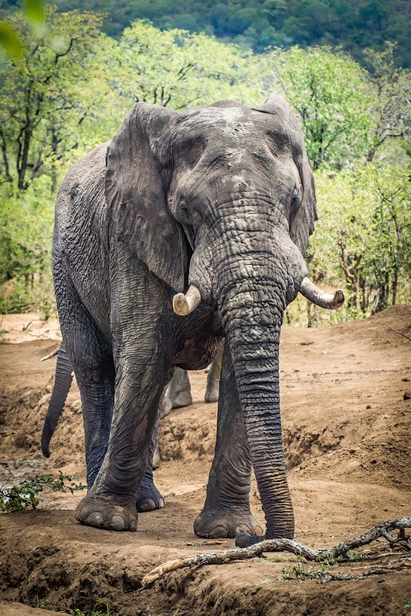 A gentle giant by Warren Hanna - Novices Only Wildlife ( #nature, #kurger national park, #south africa, #elephant, #wildlife )