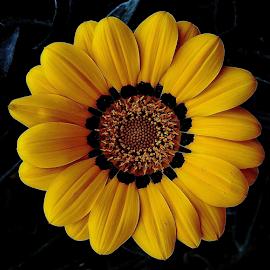 YELLOW GAZANIA PORTRAIT by Raja Sen - Flowers Single Flower ( gazania, coolpix p530, yellow, nikon, close up, portrait )