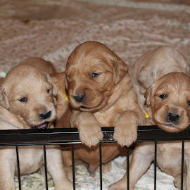 Trio of Little Saplings by Ellee Neilands - Animals - Dogs Puppies ( canine, pet, puppy, cute, dog, golden retriever )