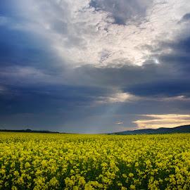 20170422-DSC_0454 by Zsolt Zsigmond - Landscapes Prairies, Meadows & Fields ( canola, scenics, oilseed rape, agriculture, cloudscape, yellow, landscape, crop, farm, field, sky, nature, cloud - sky, blue, outdoors, summer, rural scene, springtime, flower )