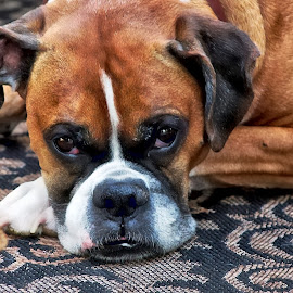 Ella by Bruce Newman - Animals - Dogs Portraits ( gentle, boxer dog, dog portrait, natural )