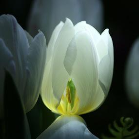 Tulip dream  by Pamela Zeng - Flowers Flower Gardens