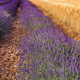 Lavender and grain field by Miroslav Havelka - Landscapes Prairies, Meadows & Fields ( levader, color, grain, lines, landscape, fields )
