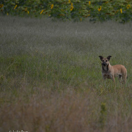 in the fields by Jackie Butt - Animals - Dogs Playing