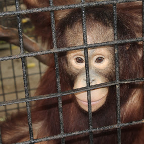 Trap In Cell by Dennis d'Soulz - Animals Other Mammals ( trapped, apes, orangutan, locked, animal )