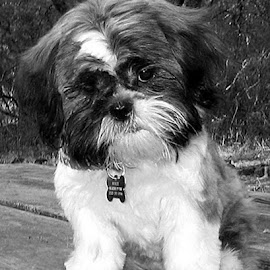 Kukee at Three Months Old by Christine B. - Animals - Dogs Puppies ( puppy, shih tzu, dog, kukee, animal,  )