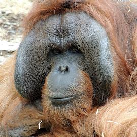 Birthday boy by Kathryn Willett - Animals Other ( ape, orangutan, primate, photography, portrait )
