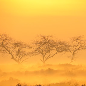 three trees and sunrise by Yahia  husain - Landscapes Sunsets & Sunrises ( beautful, fog, stnnin, sunrise, kuwait )
