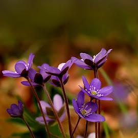 Spring is coming by Janeta Sandutu - Flowers Flowers in the Wild ( flowers#spring#nature#wild#colours )