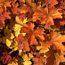 Cover Leaves by Dale Fillmore - Nature Up Close Leaves & Grasses ( ground cover, fall colors, nature, leaves, close up )