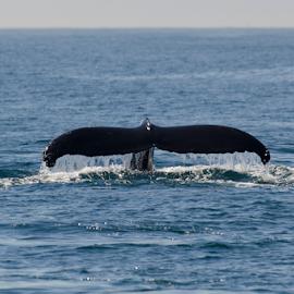 Tail Back by Helen Mathias - Animals Sea Creatures ( humpback, monterey, california, dive, fluke, whale, usa )