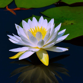 Pond Lily by Bill Martin - Flowers Single Flower ( reflection, color, nature, water, petals, water lily, flower )
