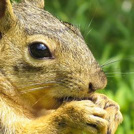 Fox Squirrel by Steve Munford - Animals Other Mammals ( mammals, animals, nature, close-up, squirrel )