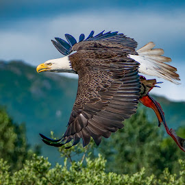 by Ed Mullins - Animals Birds ( eagle, eagle with salmon, alaska, bald eagle, salmon, bald eagle with salmon )