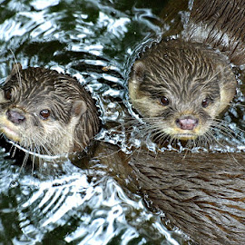 Double Trouble by A.j. Amos - Animals Other ( water, zoo, otter, nature, wildlife )
