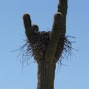 Hawk nest in Saguaro Cactus