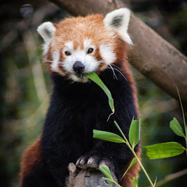 Cute by Marc Steele - Animals Other Mammals ( critters, animals, mountain, welsh mountain zoo, wales, wildlife, red panda, cymru, mammal, coast, colwyn bay, zoo, outdoors, fur, animal )