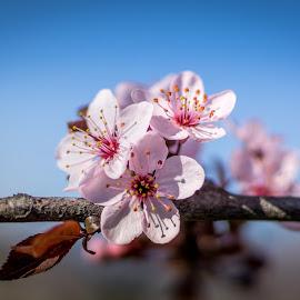 It's official by Aleksandar Kolov - Flowers Tree Blossoms