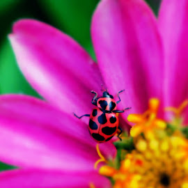 Ladybug  by Barbara Horner - Animals Insects & Spiders ( macro, red, nature, bug, insect, black )