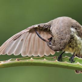 Black Sunbird by Louis Pretorius - Animals Birds