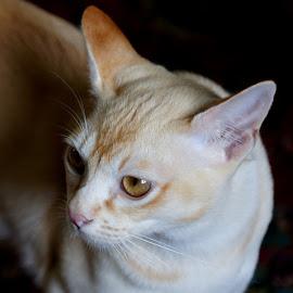 Tom by Caroline Beaumont - Animals - Cats Portraits ( kitten, cat, red, burmese, eyes )