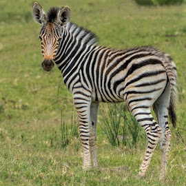 young zebra by Peter Schoeman - Animals Other Mammals ( fauna, little, quagga, camouflage, kid, hairy, nature, safari, head, black, grassland, wild, isolated, grass, white, stripes, stripe, mammal, savannah, zebra, natural, small, face, herbivore, african, calf, wildlife, beauty, cute, character, child, life, happy, burchell, striped, baby, africa, hair, animal, creature, green, beautiful, game, young, wilderness, national park, pattern, background, outdoor, standing )