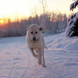by Kristina Bergeron - Animals - Dogs Running