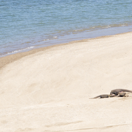 Komodo Dragon on the beach by Leonardus Nyoman - Animals Reptiles ( dragon, komodoisland, komodo, indonesia. )