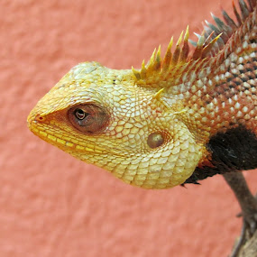 Oriental garden lizard by Krishna Kumar - Animals Reptiles ( garden lizard, lizard, reptile, chameleon, reptilian )